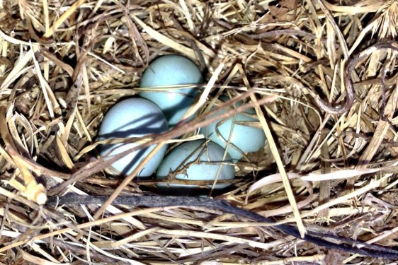 Blue Bird Eggs